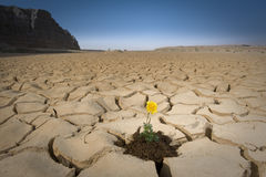 den spruckna blomman smutsar yellow Royaltyfri Bild
