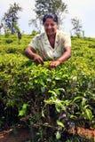 Den Sri Lanka kvinnan samlar teblad Arkivfoto