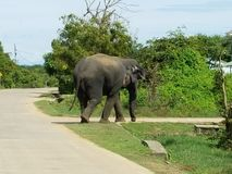 Den srilankesiska elefanten går över en väg royaltyfri fotografi