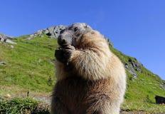 Den stående murmeldjuret i bergen äter med dess tafsar Arkivfoto