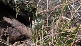 Den stående snoken lutade ut ur stensprickan och lyftte huvudet Ung Natrixnatrix, snok eller vattenorm Arkivbild
