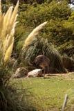 Den större Rhea Nandu fågeln kallade Nandu americana Royaltyfria Bilder