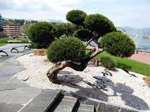 Den största bonsai i världen Arkivfoton