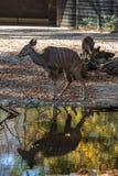 Den st?rre kuduen, Tragelaphusstrepsiceros ?r en skogsmarkantilop fotografering för bildbyråer