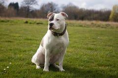 Den Staffordshire Bull terrier hunden som in går, parkerar arkivfoto