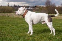 Den Staffordshire Bull terrier hunden som in går, parkerar arkivbild