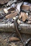 Den starka ödlan Madagascar omgav ödlan, den Zonosaurus madagascariensisen, nyfikna Mangabe, Madagascar Fotografering för Bildbyråer