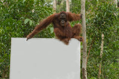 Den starka orangutanget sitter på en affischtavla i djungeln (Indonesien) Arkivbilder