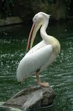 Den stiliga pelikan Arkivfoton
