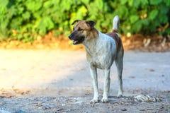 Den stiliga unga hunden som väntar på hans framstickande att gå tillbaka, returnerar i eveni Arkivbilder