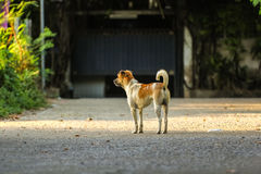 Den stiliga unga hunden som väntar på hans framstickande att gå tillbaka, returnerar i eveni Fotografering för Bildbyråer