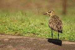 Den Stillahavs- guld- brockfågeln precis når den har ätit, avmaskar royaltyfria foton
