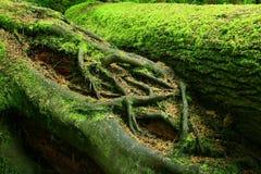 Den Stillahavs- nordvästliga skogen och det stupade barrträdträdet loggar Arkivbild