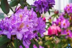 Den Stillahavs- rhododendronrhododendronmacrophyllumen är stor-leaved art av rhododendroninfödingen till Stillahavskusten av nord arkivbild