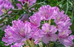 Den Stillahavs- rhododendronrhododendronmacrophyllumen är stor-leaved art av rhododendroninfödingen till Stillahavskusten av nord arkivfoto