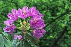 Den Stillahavs- rhododendronrhododendronmacrophyllumen är stor-leaved art av rhododendroninfödingen till Stillahavskusten av nord royaltyfria bilder