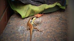 Den ?stliga indiska bruna mabuyaen ?ter kackerlackor fotografering för bildbyråer