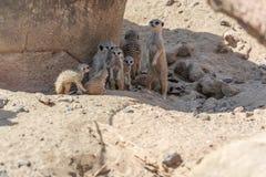 Den Stokstaartjes Meerkat familjen ser omkring arkivfoton