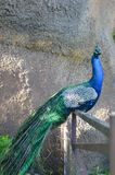 Den stolta och majestätiska påfågeln arkivbilder
