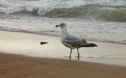 Den stolta seagullen kommer ut ur Nordsjön i Ostend arkivfoton