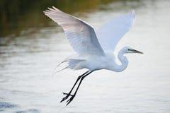 Den stora ägretthägret glider över vatten fotografering för bildbyråer