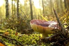 Den stora ätliga champinjonen med den röda hatten växer Royaltyfria Foton