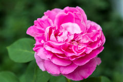 Den stora öppnade blomman steg på en buske Royaltyfria Bilder