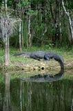Den stora alligatorn på vilar på flodstrand Royaltyfri Foto