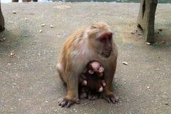 Den stora apan med behandla som ett barn arkivfoto