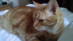Den stora apelsinen gjord randig strimmig kattkatt med guld- ögon kopplar av på en säng Arkivbilder