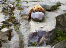Den stora brunbjörnen som kopplar av i roligt, poserar på roks Arkivbild