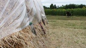 Den stora bunten av hö eller sugrör som täckas med polyeten, torkar under den öppna himlen En form för lantgårddjur för vintern stock video