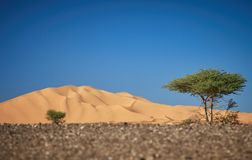 Den stora dyn av merzougaen, med det typiska trädet av öknarna i africa royaltyfri bild