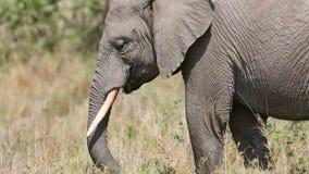 Den stora elefanten äter gräs och filialer i Afrika