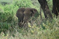 Den stora elefanten Arkivfoton