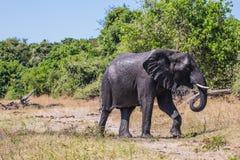 Den stora elefanten hällde sig vätskedy Arkivbild