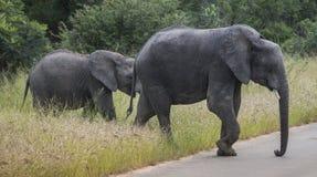Den stora elefanten med barn behandla som ett barn elefanten i kruger parkerar Arkivbilder