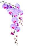 Den stora eleganta filialen av den lila orkidén blommar med knoppar Royaltyfria Bilder