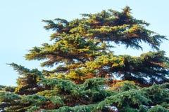 Den stora evergreen sörjer trädet på himmelbakgrund royaltyfri foto