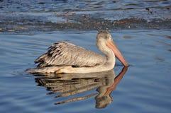 Den stora fågelsimningen i vatten Arkivbilder