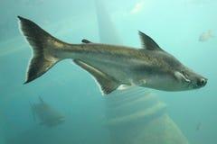 Den stora fisken är undervattens- Royaltyfri Bild