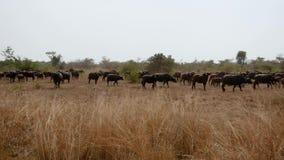 Den stora flocken av buffeln i betar i Bush av den afrikanska lösa savannahen arkivfilmer