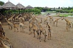 Den stora flocken av giraffet på en safari parkerar arkivfoton