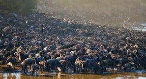 Den stora flocken av gnu är om Mara River stor flyttning kenya tanzania Masai Mara National Park fotografering för bildbyråer