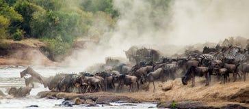 Den stora flocken av gnu är om Mara River stor flyttning kenya tanzania Masai Mara National Park stock illustrationer