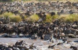 Den stora flocken av gnu är om Mara River stor flyttning kenya tanzania Masai Mara National Park royaltyfri fotografi
