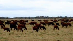 Den stora flocken av nötköttnötkreatur som in betar, betar Kor tjurar, kalvar tillsammans i paddock arkivfilmer