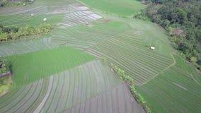 Den stora flyg- sikten av gröna risfält under regnskogen som är full av vattengräsplanris, kontrollerar i ljuset av aftonen arkivfilmer