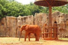 Den stora gamla elefanten på zoo Royaltyfria Foton