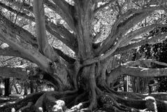 Entwined Tree Royaltyfri Fotografi
